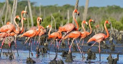 flamingos in cuba