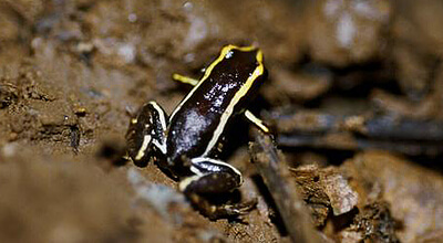 smallest_frog_at_the_northern_hemisphere