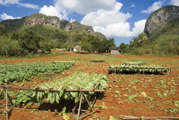 tobacco fields vinales